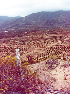 Wailuku Macadamia Nut field after switch from Sugar May 1979-Click for larger image